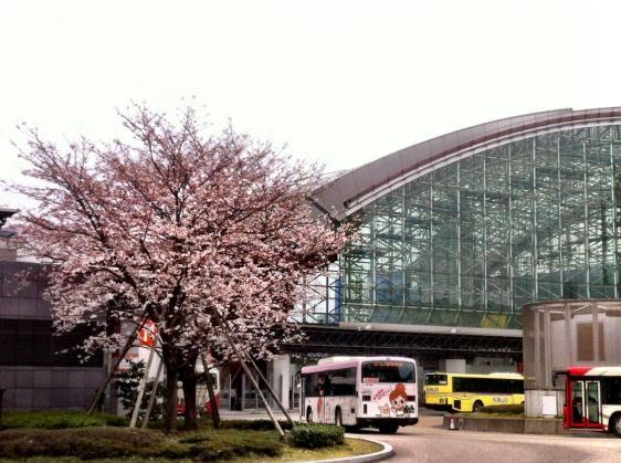 金沢駅の桜