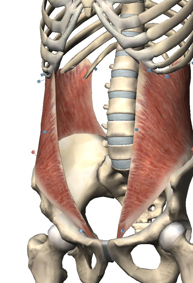 内腹斜筋 ☆腹部 左から、腹横筋、内腹斜筋、外腹斜筋、腹直筋!! 腹横筋: 胸腔・腹腔内圧を上げ