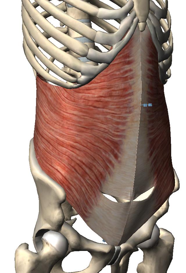 腹横筋 ☆腹部 左から、腹横筋、内腹斜筋、外腹斜筋、腹直筋!! 腹横筋: 胸腔・腹腔内圧を上げる