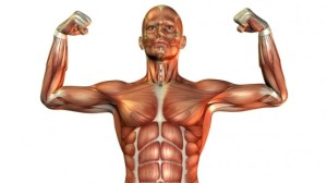 3d-muscle